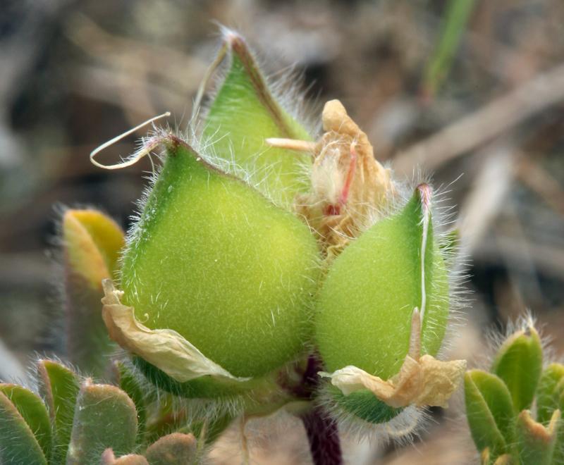 Lupinus microcarpus