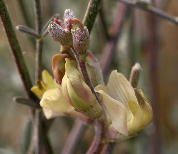 Astragalus obscurus