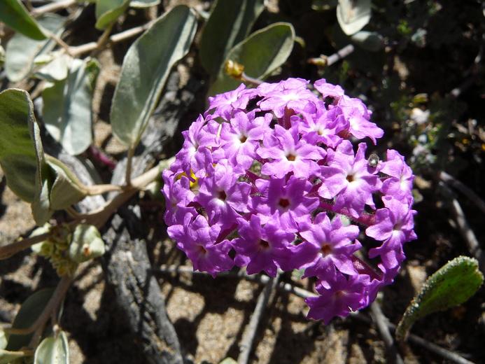 Calphotos Abronia Umbellata Var Umbellata Purple Sand Verbena