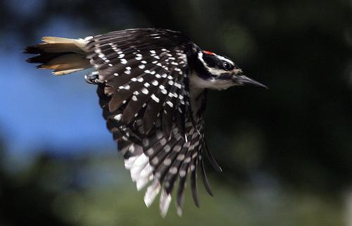 calphotos  picoides villosus  hairy woodpecker