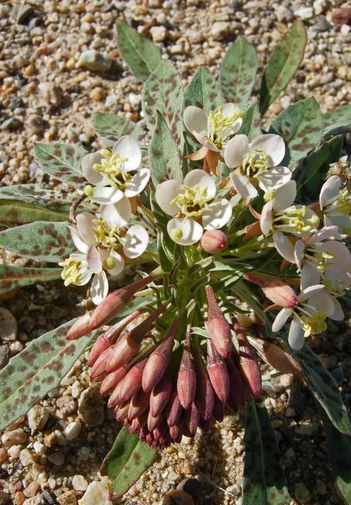 Camissonia boothii ssp. condensata