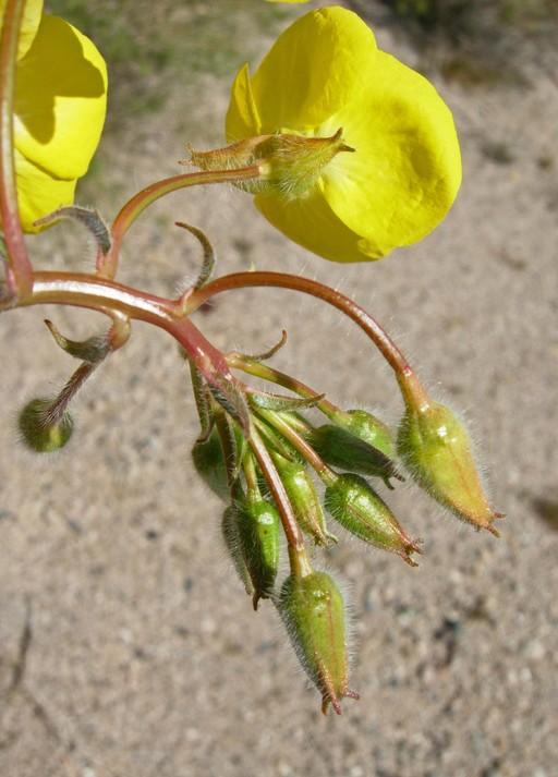 Chylismia brevipes ssp. brevipes