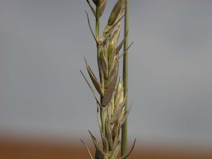 Elymus smithii