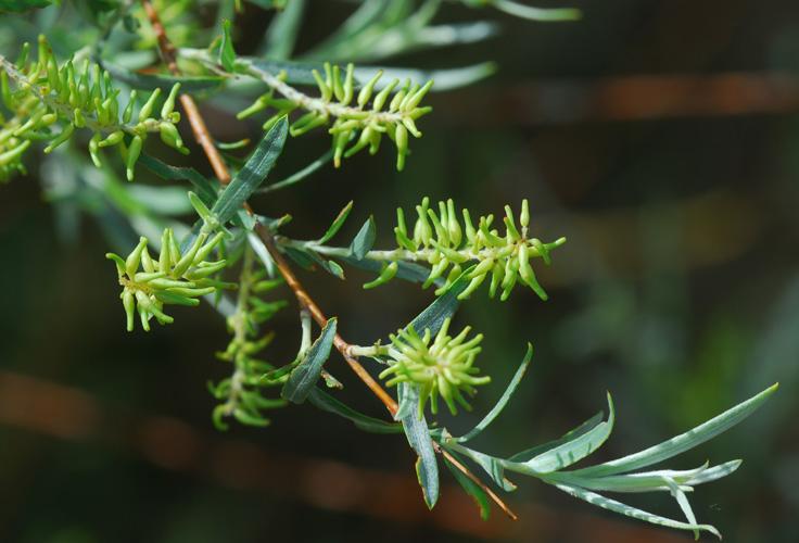 Salix exigua