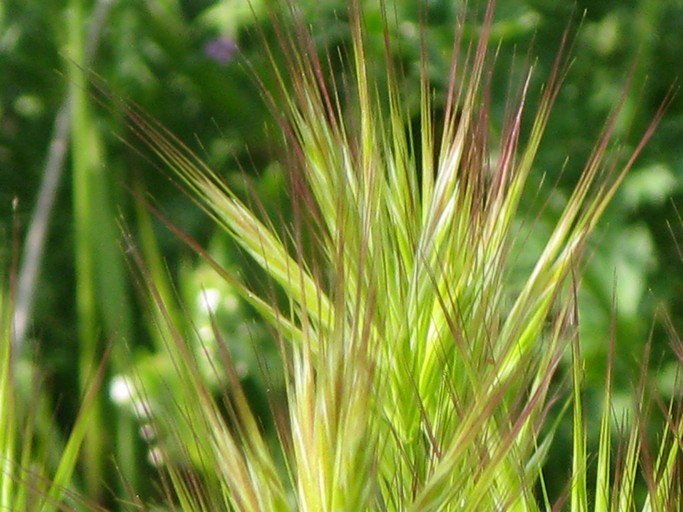 Bromus madritensis ssp. rubens