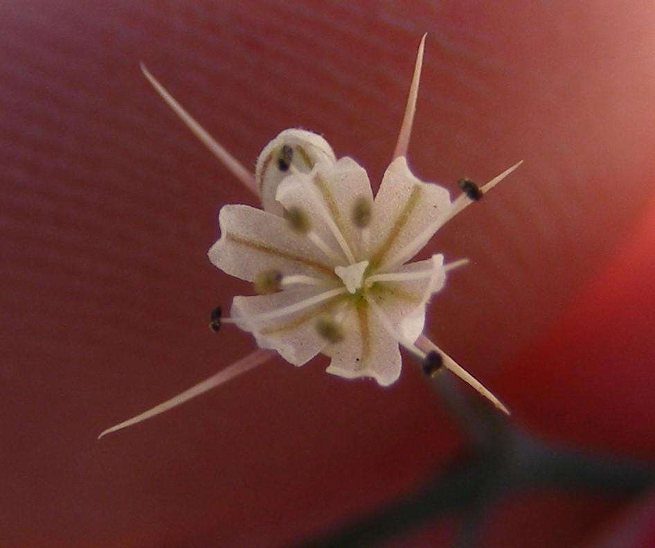 Acanthoscyphus parishii var. goodmaniana