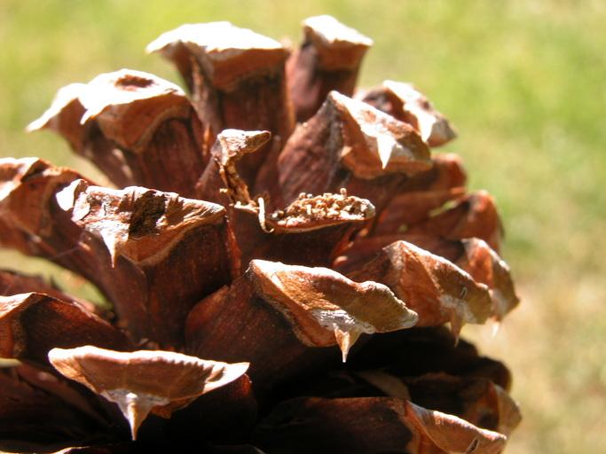 Pinus ponderosa var. washoensis