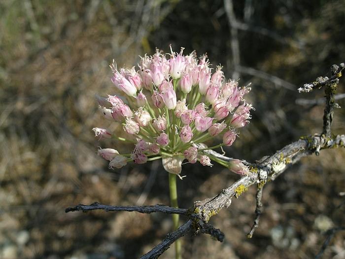 Allium sanbornii var. congdonii