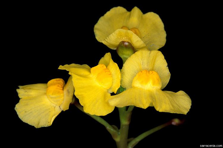 Utricularia image