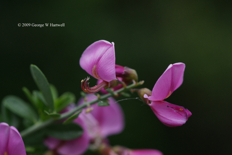 Pickeringia montana var. montana