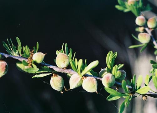 Prunus fasciculata var. punctata