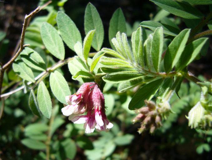 Lotus stipularis var. stipularis