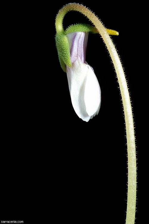 Pinguicula ionantha image