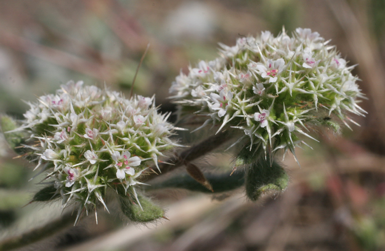Chorizanthe howellii