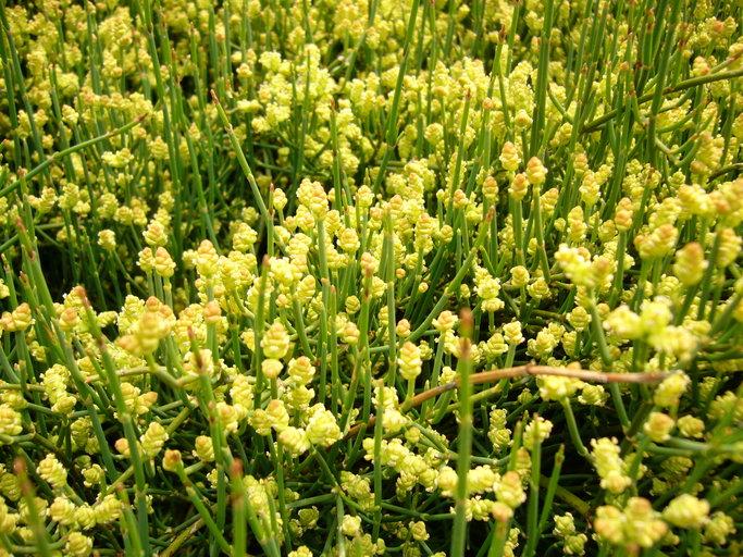 Ephedraceae: Ephedra or Mormon Tea Family. Identify plants ...