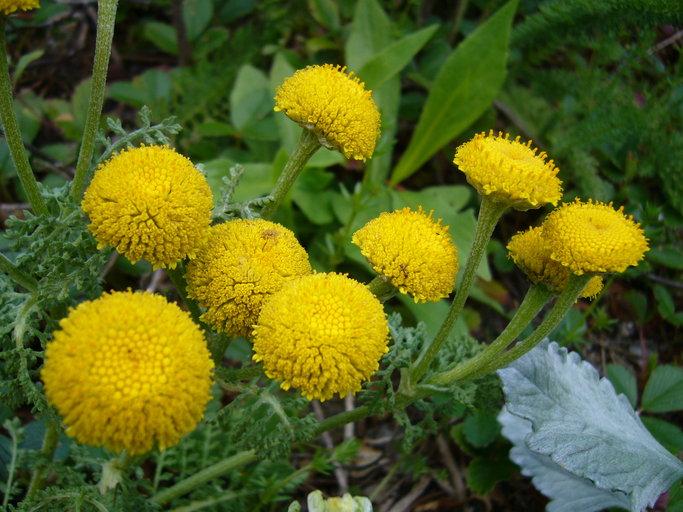 Tanacetum bipinnatum