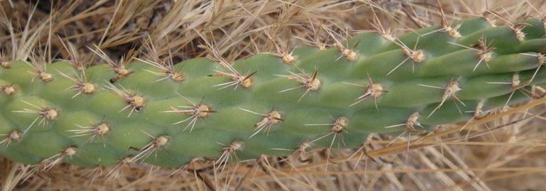 Opuntia californica var. californica