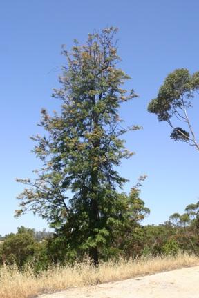 Grevillea robusta