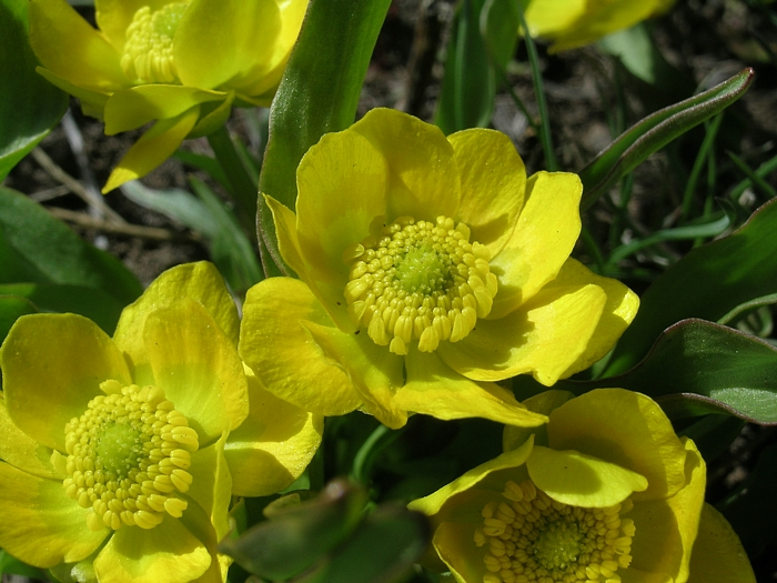 Ranunculus alismifolius var. alismifolius