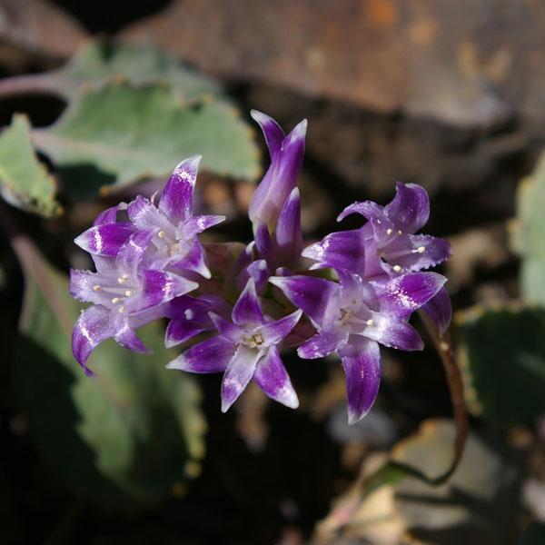 Allium abramsii