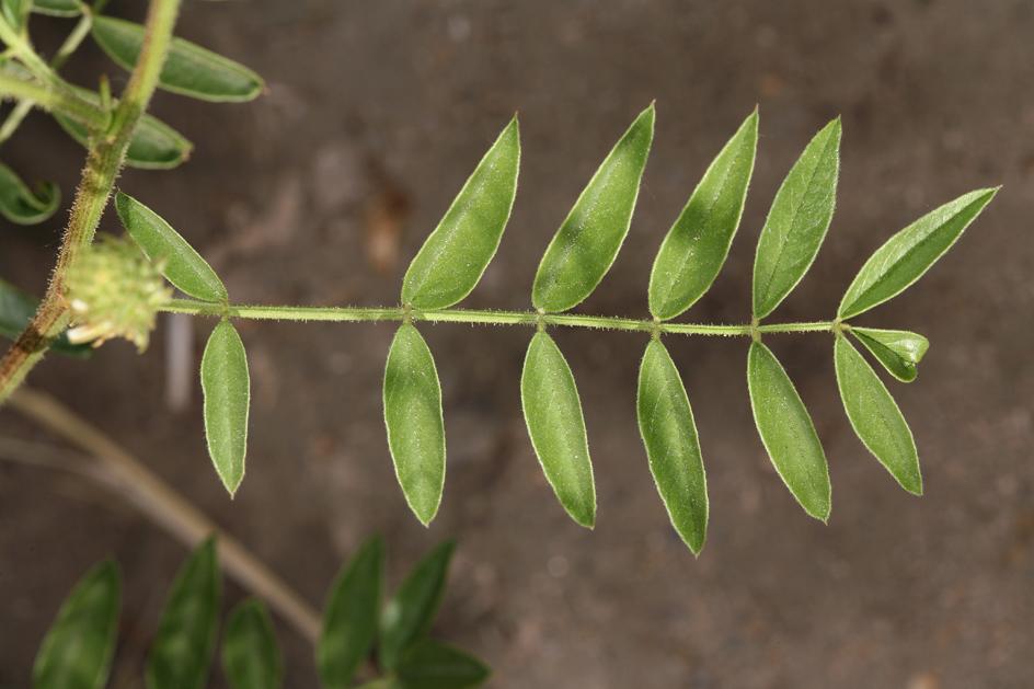 Glycyrrhiza lepidota