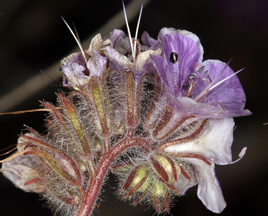 Phacelia vallis-mortae