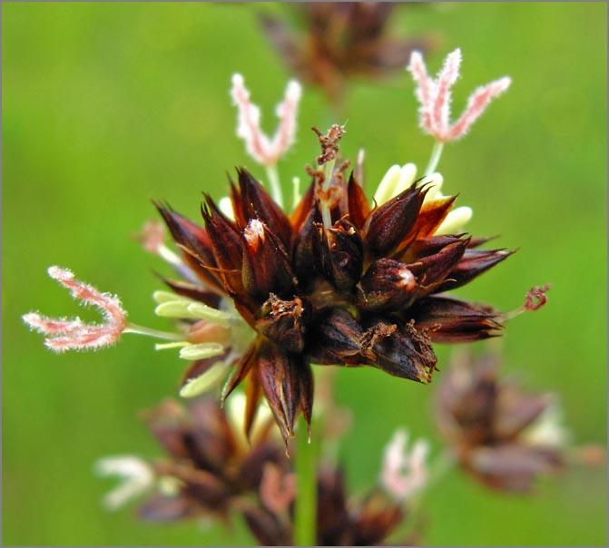 Juncus phaeocephalus var. paniculatus