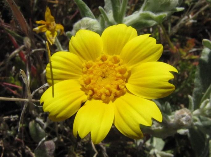Monolopia lanceolata