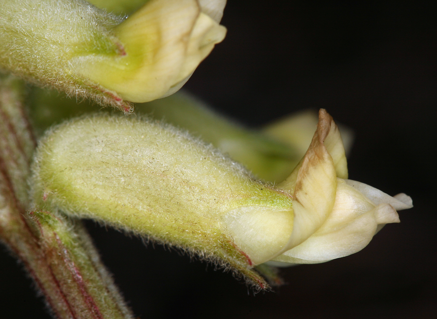 Astragalus gibbsii