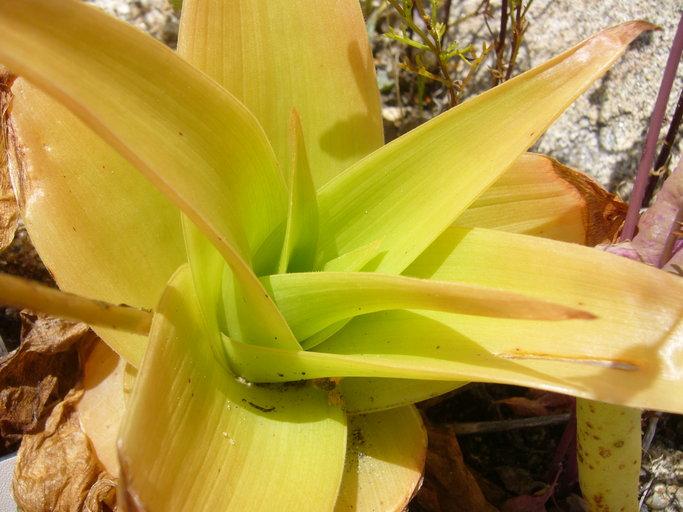 Phalangium latifolium image
