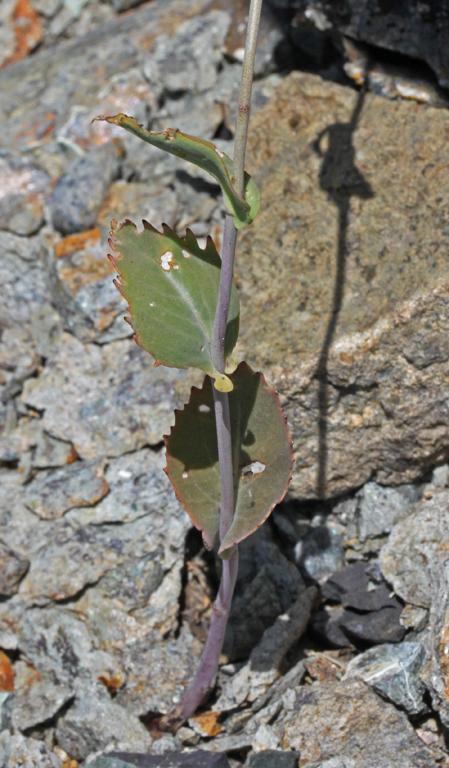 Streptanthus hesperidis
