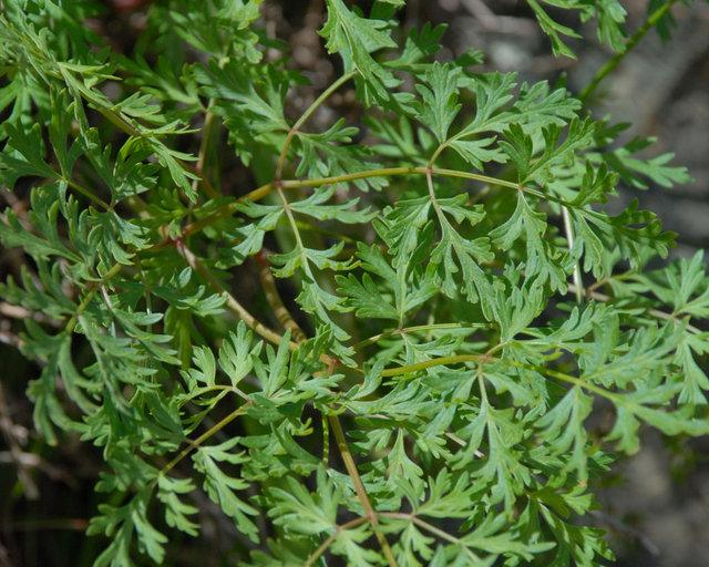 Lomatium dissectum var. dissectum