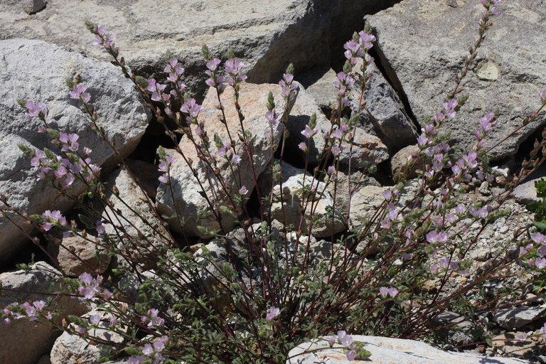Sidalcea hickmanii ssp. napensis