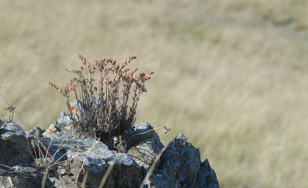 Dudleya abramsii ssp. murina