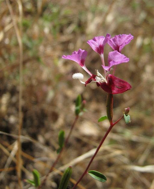 Clarkia springvillensis image