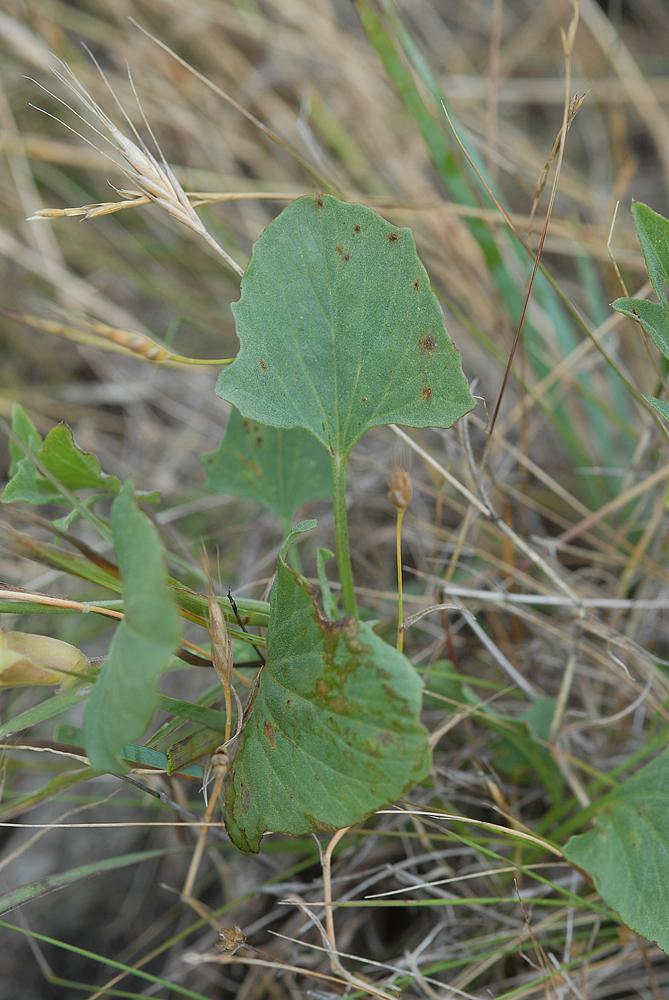 Calystegia subacaulis ssp. episcopalis