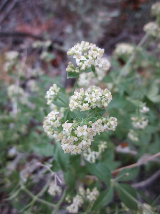 Galium hilendiae ssp. kingstonense