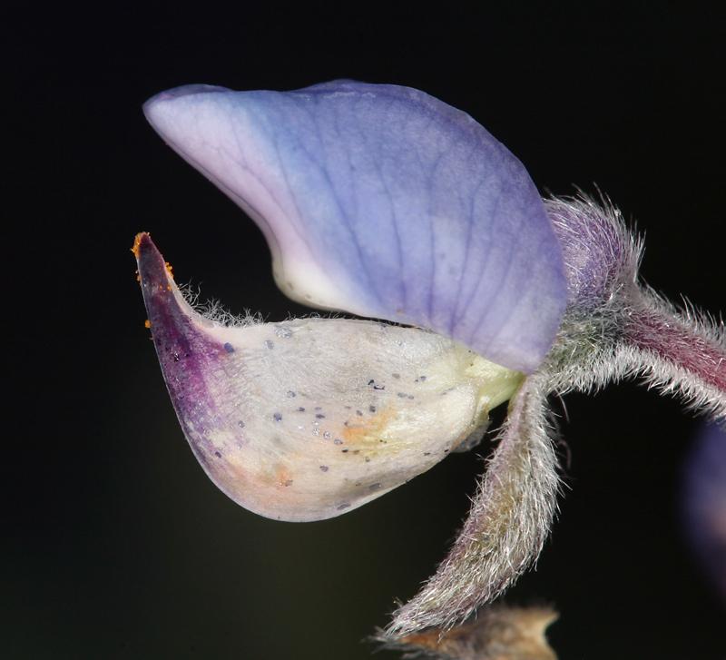 Lupinus argenteus var. palmeri