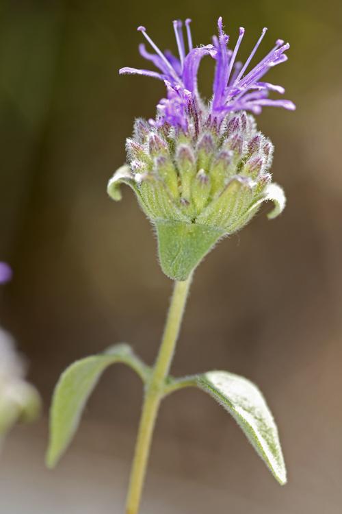 Monardella antonina ssp. antonina