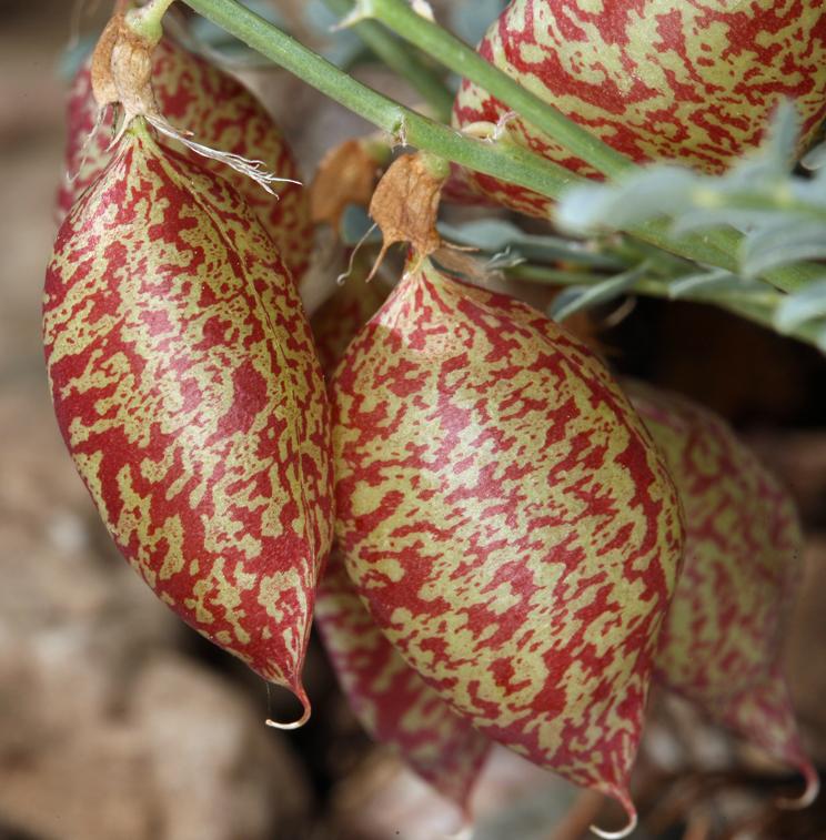 Astragalus oophorus var. oophorus