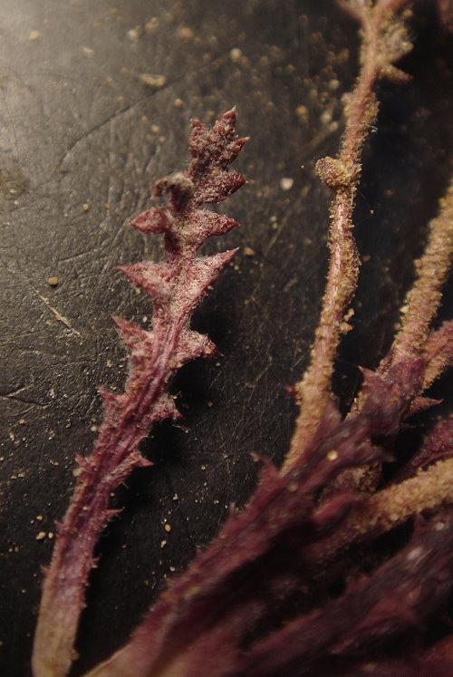 Gilia latiflora ssp. cuyamensis