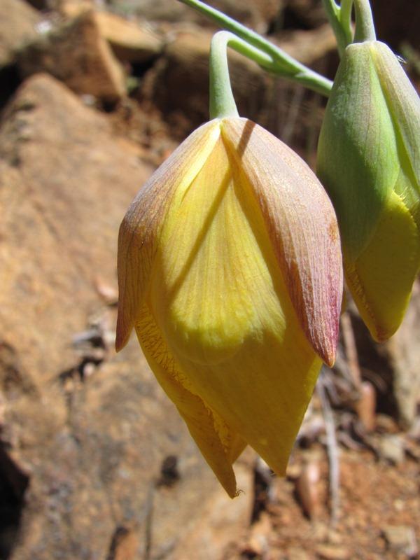 Calochortus raichei