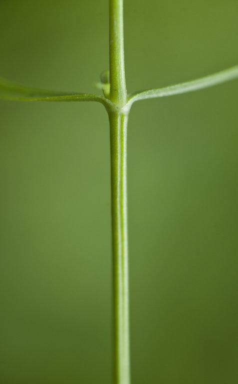 Arenaria paludicola