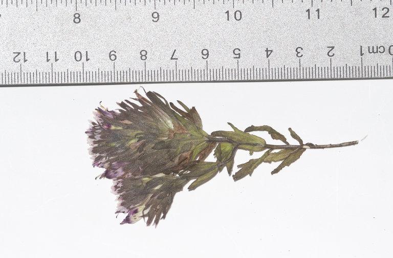 Castilleja ambigua var. insalutata