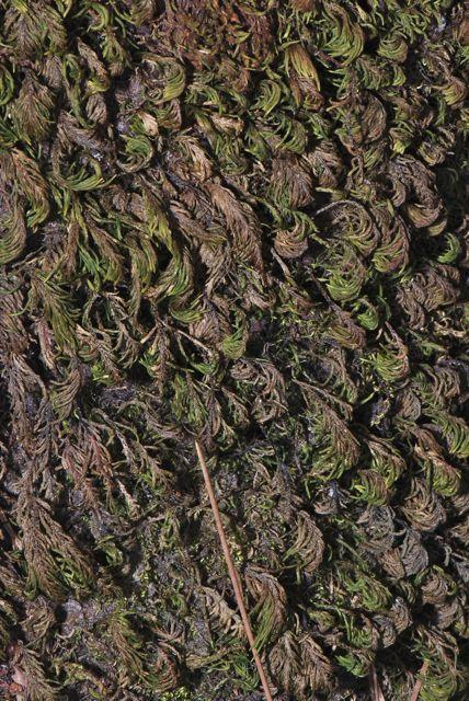 Dendroalsia abietina