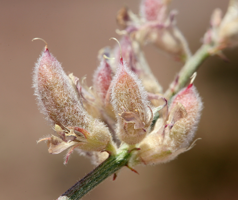 Astragalus sepultipes