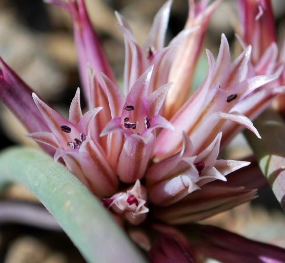 Allium monticola