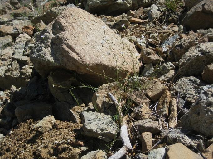 Sabulina stolonifera