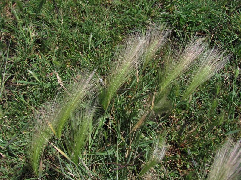 Hordeum jubatum ssp. jubatum