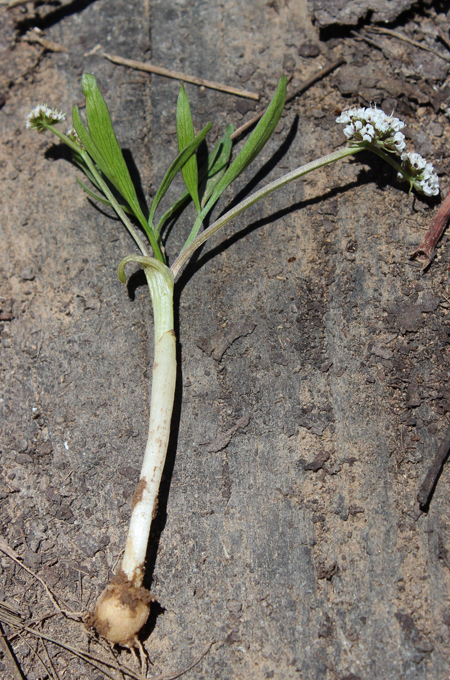 Orogenia linearifolia including root.